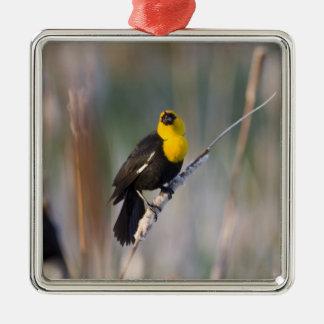 Yellowheaded Blackbird singing in small pond Ornaments