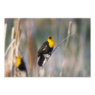 Yellowheaded Blackbird singing in small pond Photo Art