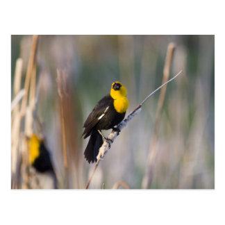 Yellowheaded Blackbird singing in small pond Postcard