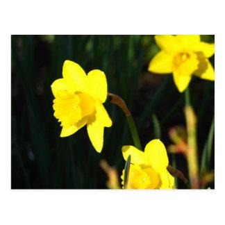 Yellows Staring Postcard