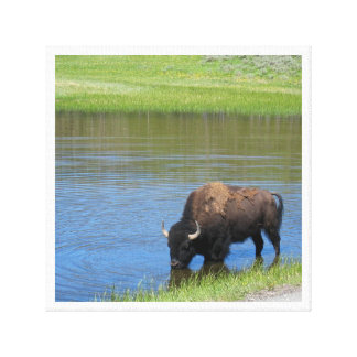 Yellowstone American Bison in Pond Canvas Print
