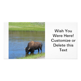 Yellowstone Bison Drinking in Lake Photo Cards