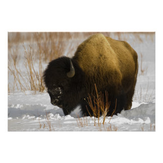 Yellowstone Bison in the Lamar Valley Poster