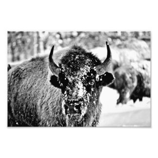 Yellowstone Bison in Winter Photographic Print