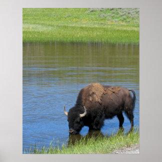 Yellowstone Buffalo Souvenir Poster