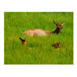 Yellowstone Elk Post Cards