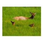 Yellowstone Elk Postcard
