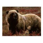 Yellowstone grizzly bear postcard