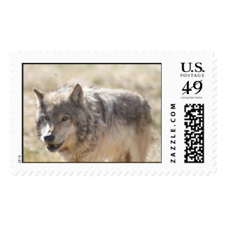 Yellowstone Wolf Postage