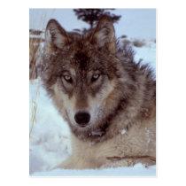 Yellowstone Wolf Postcard