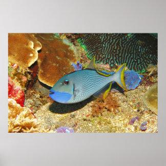 Yellowtail Triggerfish II Poster