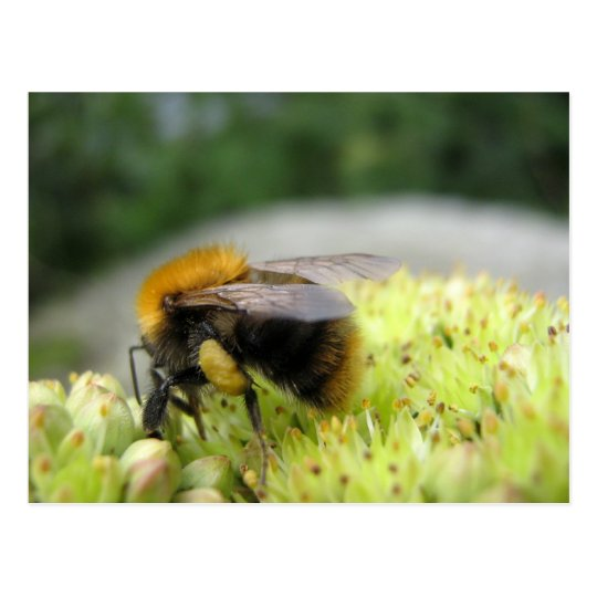 Yet another bumble bee postcard