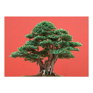 Yew bonsai announcement