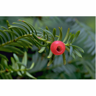 Yew tree fruit (taxus brevifolia) photo cut outs