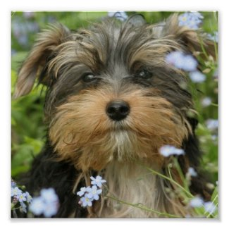 York Terrier Dog Print