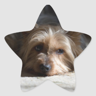 yorkhire / Silky Terrier stickers