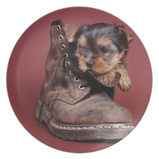 Yorkie and boot plate