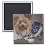Yorkie in a Leopard Print Fur Coat Magnet