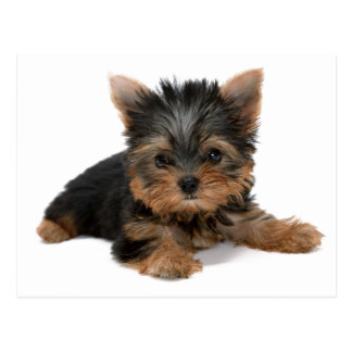 Yorkie Pup Post Card