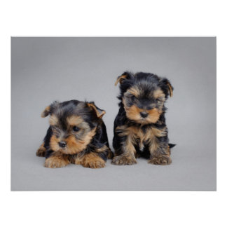 Yorkie puppies poster