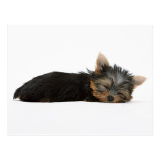 Yorkie Puppy Sleeping Postcards