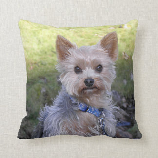Yorkie with blue collar pillows