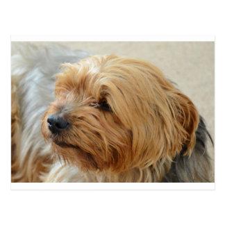 Yorkkshire Terrier Jake Postal