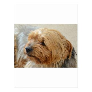 Yorkkshire Terrier Jake Postcard
