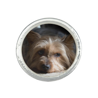 Yorkshire / silky terrier ring