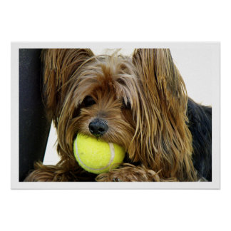 Yorkshire Terrer  with Tennis Ball Poster