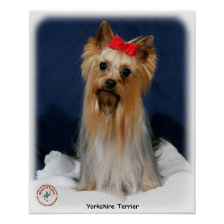 Yorkshire Terrier 9Y110D-013 Poster