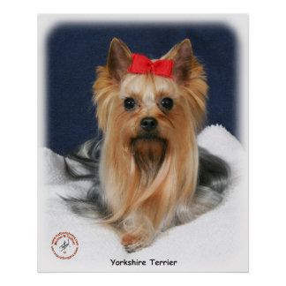 Yorkshire Terrier 9Y110D-019 Posters