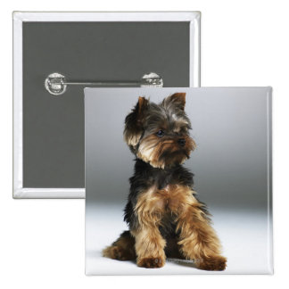 Yorkshire terrier, close-up button