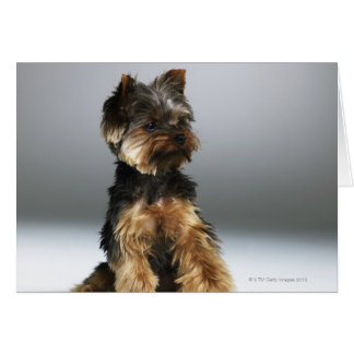 Yorkshire terrier, close-up greeting card