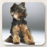 Yorkshire terrier, close-up coaster