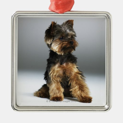 Yorkshire terrier, close-up christmas tree ornaments