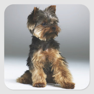 Yorkshire terrier, close-up square sticker