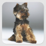 Yorkshire terrier, close-up sticker
