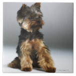 Yorkshire terrier, close-up tile
