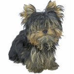 Yorkshire Terrier Cutout