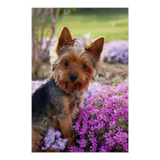 Yorkshire Terrier dog beautiful photo poster print