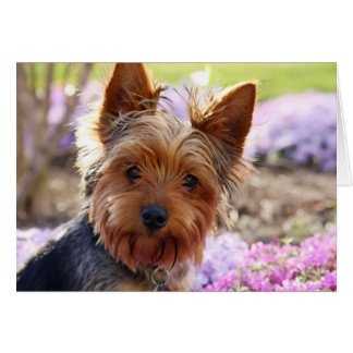 Yorkshire Terrier dog photo blank greetings card
