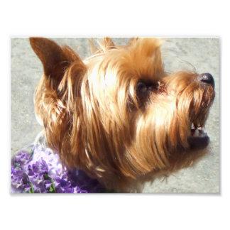Yorkshire Terrier dog Photo Print