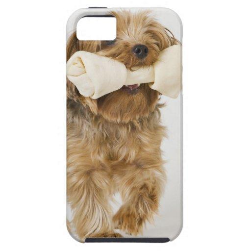 Yorkshire Terrier en caminar blanco del fondo iPhone 5 Funda