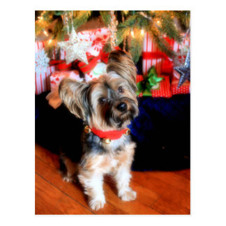 Yorkshire Terrier in bell collar with Christmas Postcard
