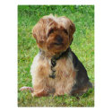 Yorkshire Terrier in Park print