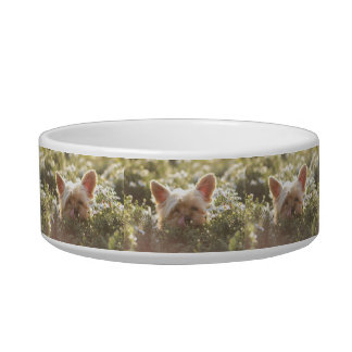 Yorkshire Terrier Laying in Sun licking lips Bowl