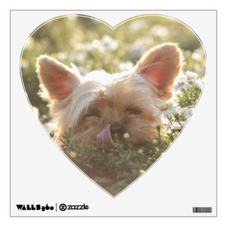 Yorkshire Terrier Laying in Sun licking lips Wall Decal