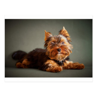Yorkshire Terrier Post Cards