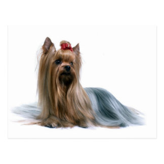 Yorkshire Terrier Post Card